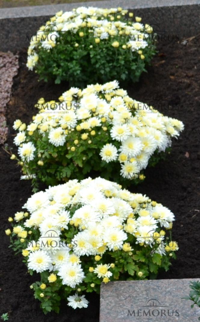 Kapavietė apželdinta vienmetėmis baltomis chrizantemomis