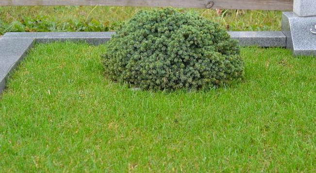Ant kapo pasodintas augalas po kapų apželdinimo darbų