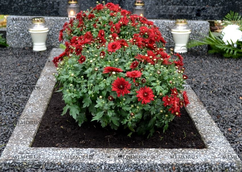 Kapas apželdintas smulkiažiedėmis raudonomis chrizantemomis